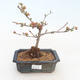 Outdoor bonsai - Chaenomeles spec. Rubra - Quince VB2020-189 - 1/3