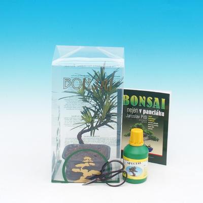 Room bonsai in a gift box