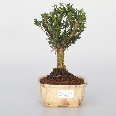 Room bonsai - Buxus harlandii - cork buxus - 1