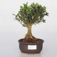 Room bonsai - Buxus harlandii - cork buxus - 1/5
