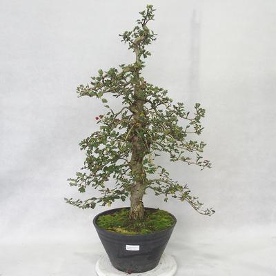 Outdoor bonsai - Hawthorn pink flowers - Crataegus laevigata paul´s Scarlet - 1