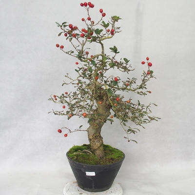 Outdoor bonsai - Hawthorn white flowers - Crataegus laevigata - 1