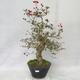 Outdoor bonsai - Hawthorn white flowers - Crataegus laevigata - 1/6