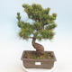 Outdoor bonsai - Pinus parviflora - Small-flowered pine - 1/5
