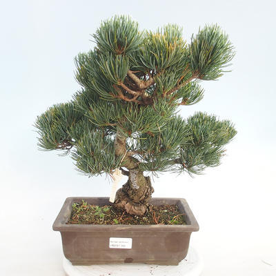 Outdoor bonsai - Pinus parviflora - Small-flowered pine - 1