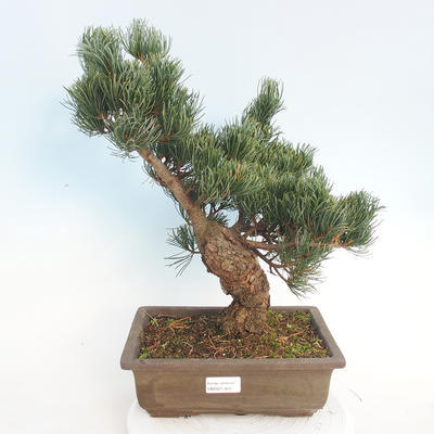 Outdoor bonsai - Pinus parviflora - Small-flowered pine - 1