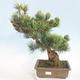 Outdoor bonsai - Pinus parviflora - Small-flowered pine - 1/5