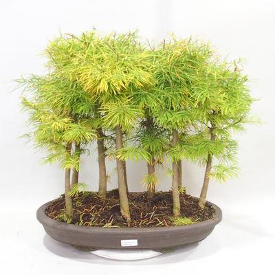 Outdoor bonsai - Pseudolarix amabilis - Pamodřín - grove of 9 trees - 1
