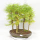 Outdoor bonsai - Pseudolarix amabilis - Pamodřín - grove of 5 trees - 1/5