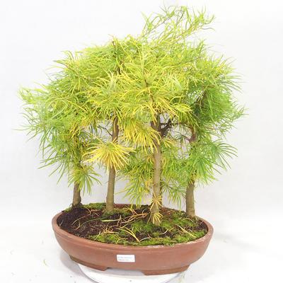 Outdoor bonsai - Pseudolarix amabilis - Pamodřín - grove of 5 trees - 1