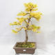 Outdoor bonsai - Pseudolarix amabilis - Pamodřín - 1/6