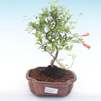 Indoor bonsai-PUNICA granatum nana-Pomegranate PB2192053 - 1