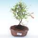 Indoor bonsai-PUNICA granatum nana-Pomegranate PB2192053 - 1/3