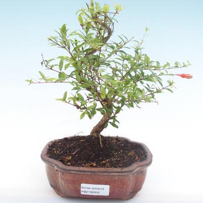 Indoor bonsai-PUNICA granatum nana-Pomegranate PB2192055 - 1