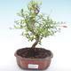Indoor bonsai-PUNICA granatum nana-Pomegranate PB2192055 - 1/3