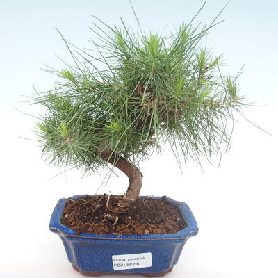 Indoor bonsai-Pinus halepensis-Aleppo pine PB2192056