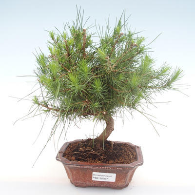 Indoor bonsai-Pinus halepensis-Aleppo pine PB2192057