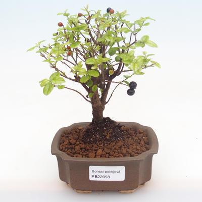 Indoor bonsai-Pinus halepensis-Aleppo pine PB2192058