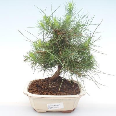 Indoor bonsai-Pinus halepensis-Aleppo pine PB2192059