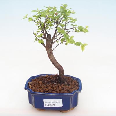 Indoor bonsai - Sagerécie thea - Sagerécie thea PB220059 - 1