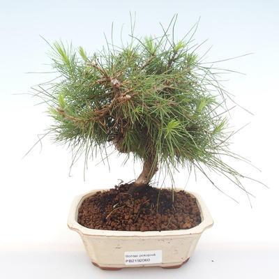 Indoor bonsai-Pinus halepensis-Aleppo pine PB2192060