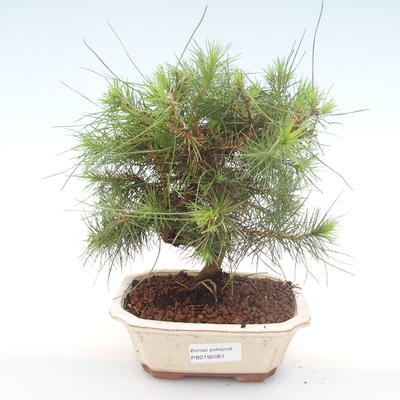 Indoor bonsai-Pinus halepensis-Aleppo pine PB2192061