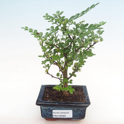 Indoor bonsai - Zantoxylum piperitum - pepper tree PB2192083 - 1