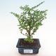 Indoor bonsai - Zantoxylum piperitum - pepper tree PB2192083 - 1/5