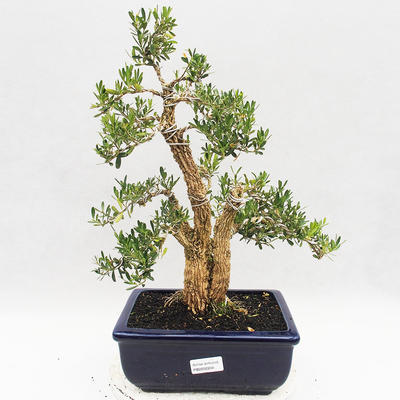 Indoor bonsai - Buxus harlandii - Cork boxwood - 1