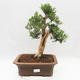 Indoor bonsai - Buxus harlandii - Cork boxwood - 1/7