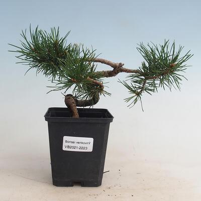 Indoor bonsai -Ligustrum Aurea - Bird's beak - 1