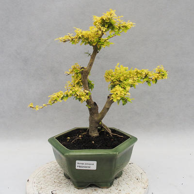 Indoor bonsai -Ligustrum Aurea - Bird's beak - 1