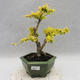 Indoor bonsai -Ligustrum Aurea - Bird's beak - 1/5