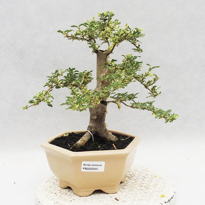 Indoor bonsai -Ligustrum Variegata - Bird's beak - 1