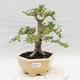 Indoor bonsai -Ligustrum Variegata - Bird's beak - 1/6