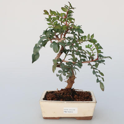 Room Bonsai - Pistachio - 1