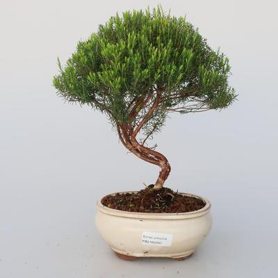 Room bonsai - Coleonema - Koleonema - 1
