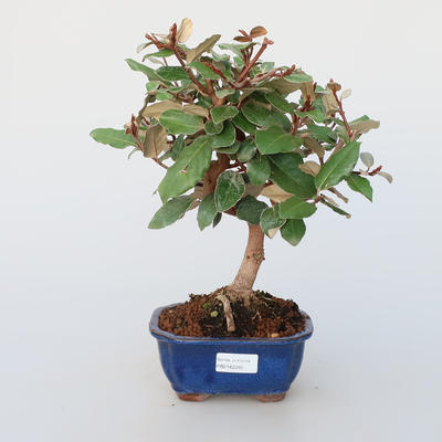 Room bonsai -Eleagnus - Hlošina - 1