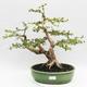 Indoor bonsai - Cudrania equisetifolia - 1/5