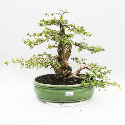 Indoor bonsai - Cudrania equisetifolia - 1