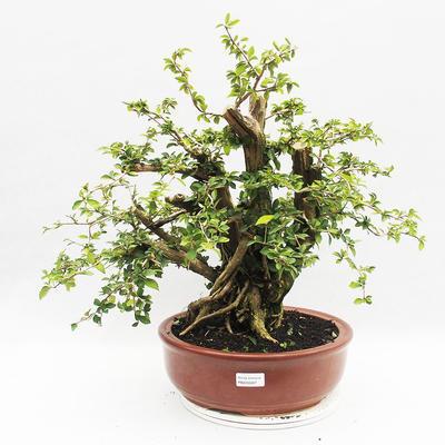 Indoor bonsai - Cudrania equisetifolia - 1
