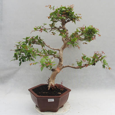Indoor Bonsai - Australian Cherry - Eugenia uniflora - 1