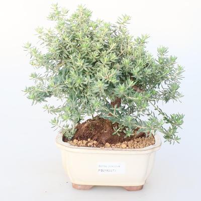 Room bonsai -Westrigea sp. - Westringie - 1
