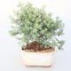 Room bonsai -Westrigea sp. - Westringie - 1/3