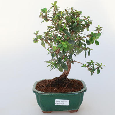 Room bonsai -Wscallonia sp. - Embarrassment - 1