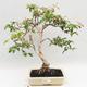 Room Bonsai - Australian Cherry - Eugenia uniflora - 1/5
