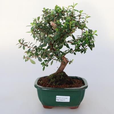 Room bonsai -Wscallonia sp. - Embarrassment - 1
