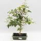 Indoor Bonsai - Australian Cherry - Eugenia uniflora - 1/4