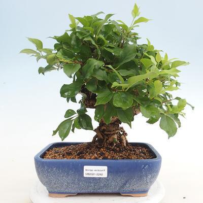 Indoor bonsai -Eleagnus - Hlošina - 1