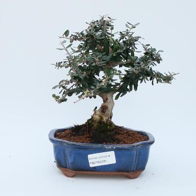 Room bonsai - Olea europaea sylvestris - Olive European bacilli - 1
